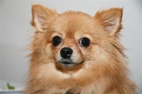 about puppies pomchi designer information all about dogs