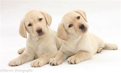 yellow lab puppies colorado dogs yellow labrador retriever puppies 9 weeks photo wp28058