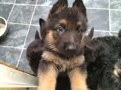 german shepherd puppies for sale in idaho beautiful german shepherd puppies for sale pets for sale pets for sale