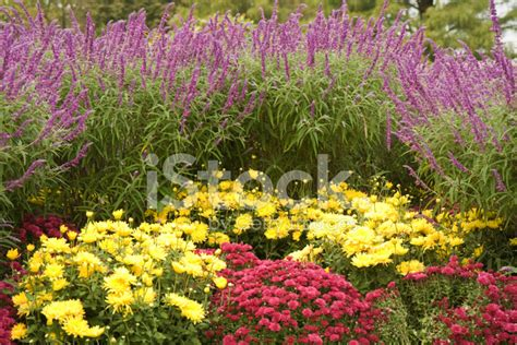 purple flowers for garden yellow and purple flower garden stock photos