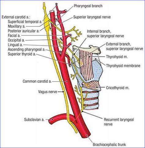 carotide interna carotid artery groove for carotid artery