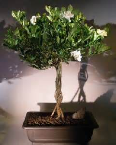 flowering gardenia bonsai treejasminoides miami supreme