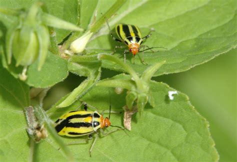 yellow black beetle garden pest fourlined plant bug in home gardens insects