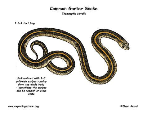 Garden Snake Diet Garden Snake Diet 28 Images Garter Snake Common