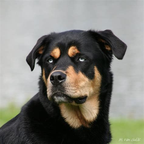 husky and rottweiler mix rottweiler husky mix ridgebacks flickr