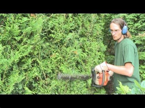 thuja brabant pflanzen 190 thuja smaragd lebensb 228 ume bilder slideshow mit sortime
