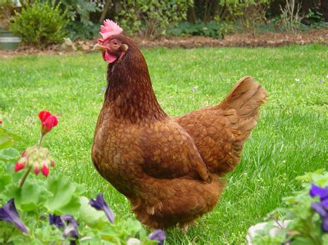 Backyard Chickens Chicken Breeds Ideal For Backyard Pets And Eggs