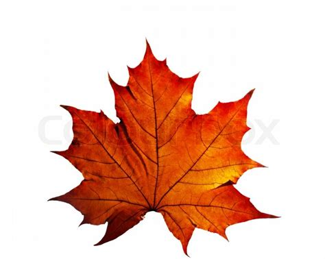 Autumn Leaf Isolated On White Background Stock Photo Colourbox Fall Leaves On White Background