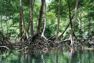 carbon grasped by mangrove roots vastly underestimated