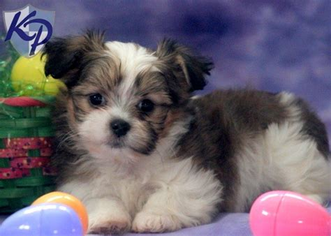 shih tzu and pomeranian mix for sale shih tzu mix