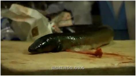 come si cucina l anguilla come si pulisce e si cucina il capitone l anguilla della