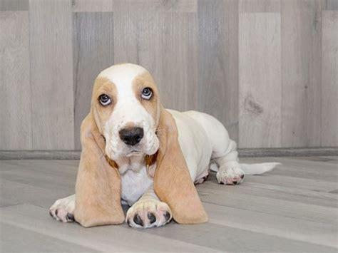 golden retriever wichita ks pet microchip id lookup registration for dogs cats