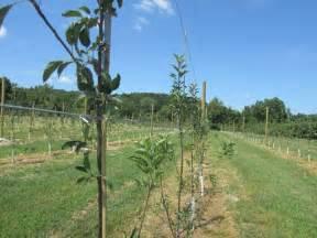 apple tree trellis established orchards and vineyards
