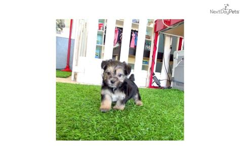 yorkie poo for sale san diego teacup yorkie puppy for sale in san diego escondido breeds picture