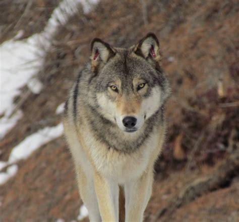 washington s washington s wolves conservation northwest