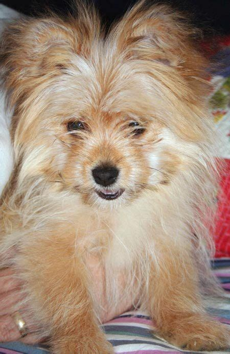 teacup pomeranian yorkie mix 17 best ideas about pomeranian mix on dogs adorable puppies and