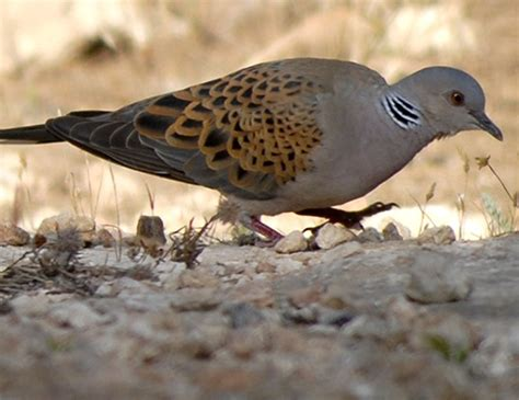 european turtle dove life expectancy
