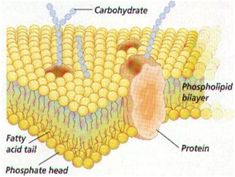 carbohydrates on cell membranes help cells cell membrane and transport notes mr stewart s biology