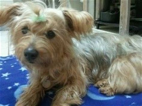 15 pound yorkie 17 best images about dogs cats on st s theater and adoption