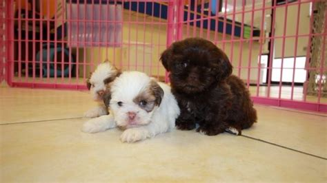 shih tzu puppies for sale in ga 300 the gallery for gt ruby cavachon