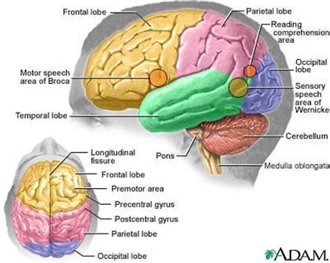 Human Brain Essay by Evolusie Feit Of Fiksie