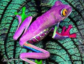 frog from colors beautiful purple all about frogs