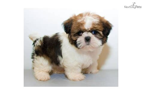 shih tzu for free images of shih tzu puppies for sale in wallpaper