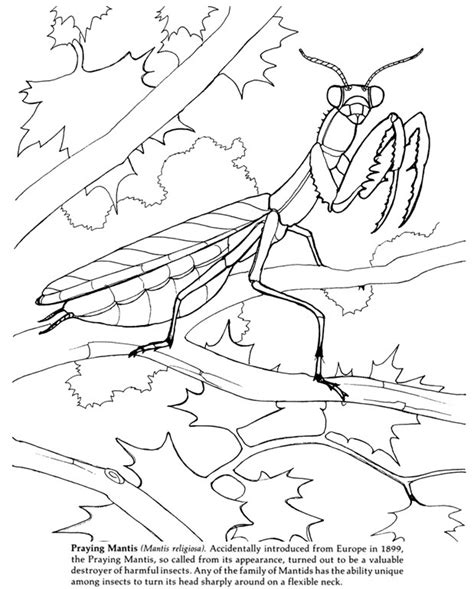 Praying Mantis Coloring Pages First Edition Pinterest Praying Mantis Coloring Page