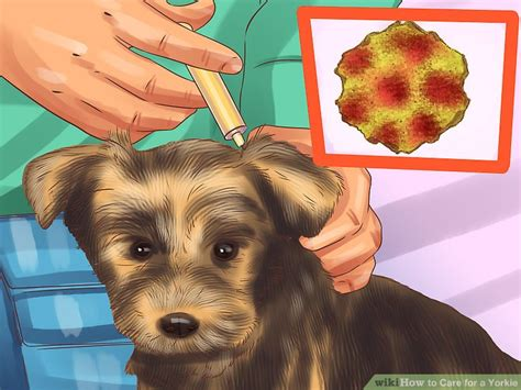 yorkie vomiting blood how to care for a yorkie with pictures wikihow