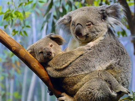 Koala Meme - koala bear meme