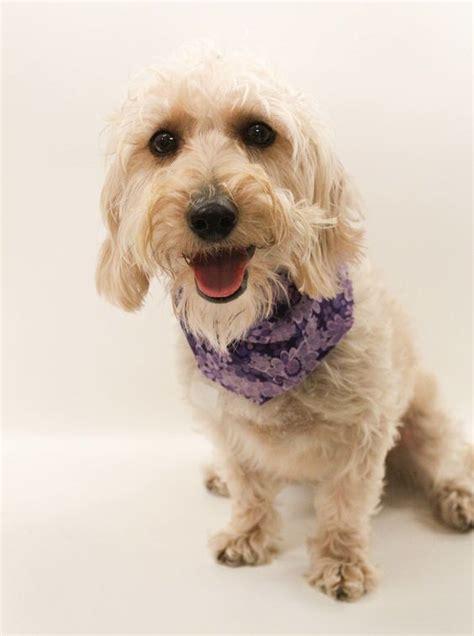 dachshund puppies tulsa petfinder adoptable dachshund poodle mix tulsa ok stella dogs looking