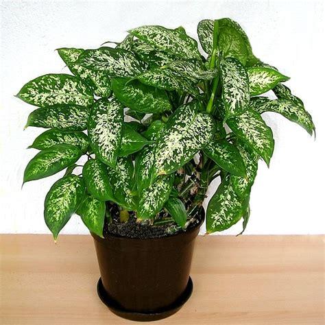 dieffenbachia poisoning  toxic   houseplant