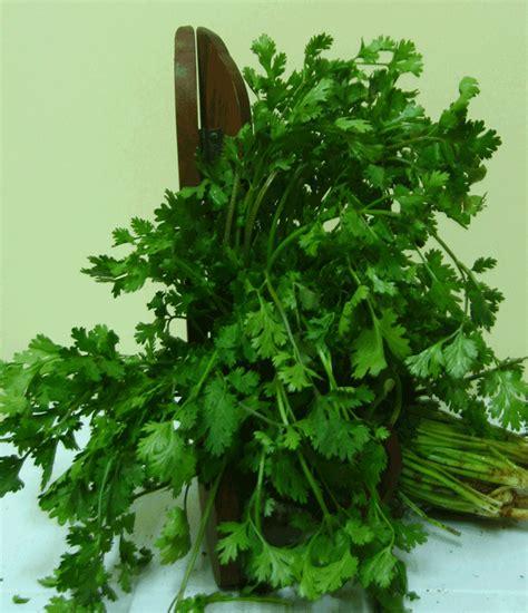 Cilantro Coriander Leaves quot whatever chumps quot how to keep coriander leaves cilantro fresh in the fridge