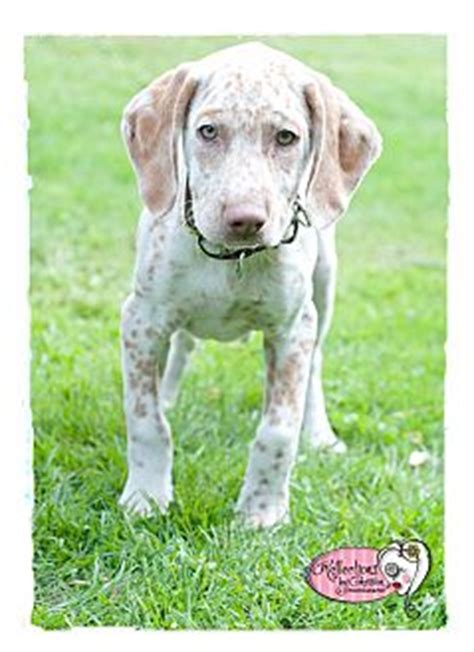 german shorthaired lab puppies teagen adopted puppy haverhill ma labrador retriever german shorthaired pointer mix