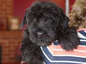 black russian terrier puppies for sale black russian terrier puppies for sale black russian terrier puppies for sale