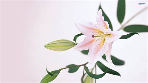 lilies or lillies lily wallpapers wallpaper cave