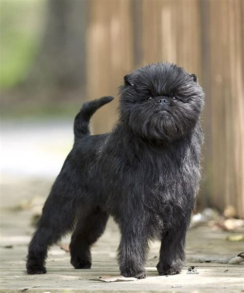 monkeys dogs affenpinscher they are also called monkey dogs cuz their looks like a
