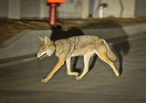 science cities struggle  formulate coyote