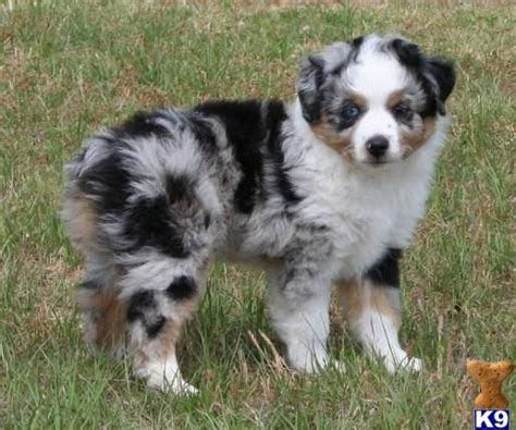 australian shepherd puppies for sale nj australian shepherd puppies for sale limelicense