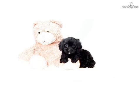 teacup cavapoo puppies for sale cavapoo puppy for sale near washington dc ec5ae1c0 0321