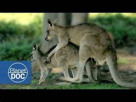 apareamiento animales salvajes kangaroo mating with videolike