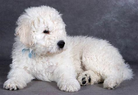 komondor puppies for sale komondor puppies for sale akc puppyfinder