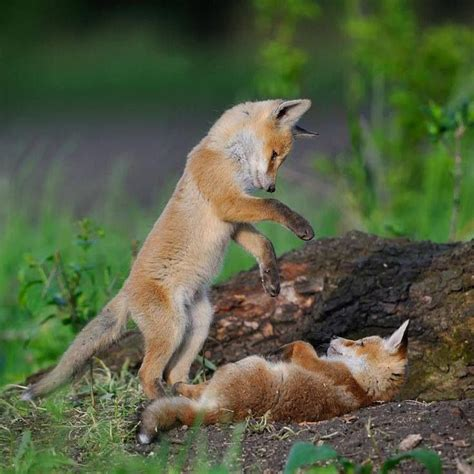 baby foxes playing wild life pinterest