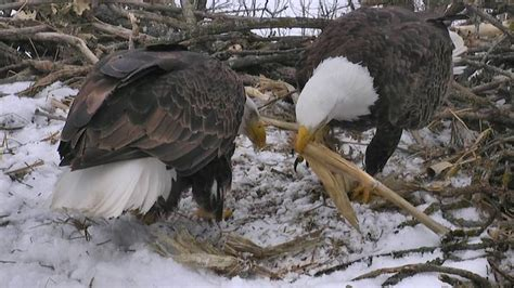 the decorah north nest is now online you can watch in two