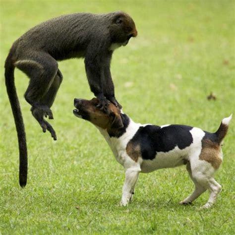 monkey and puppy monkey vs getlolgetlol