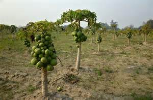 fields for growing fruit trees papaya trees fruits sweet nature fields