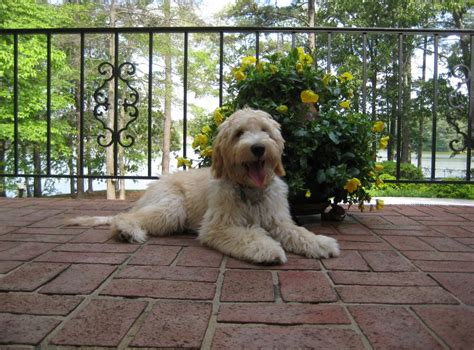mini doodle columbia reviews read testimonials from crockett doodles puppy owners
