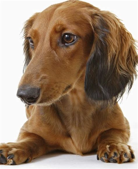 hair weiner image gallery haired miniature dachshund