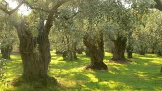 olive tree file olive trees on thassos jpg wikipedia