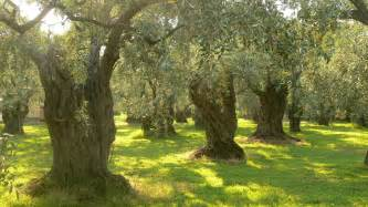 olive tree wallpaper olive trees wallpaper 359864